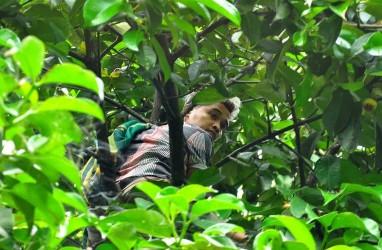 Foto-foto Perburuan Manggis Kualitas Ekspor di Padang