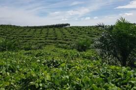 Perkebunan Kelapa Sawit: PTPN V Untung Berlipat, Ini…
