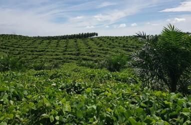Perkebunan Kelapa Sawit: PTPN V Untung Berlipat, Ini Janjinya untuk Petani Rakyat