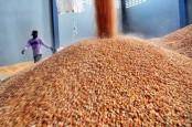 Ternak Babi Mulai Pulih, China Impor Jagung Besar-besaran