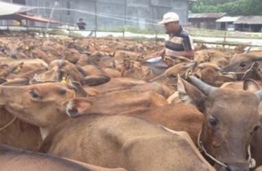 Kuota Pengiriman Sapi Bali Naik 16 Persen