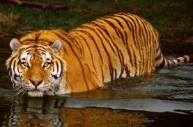 Satu Harimau yang Lepas dari Sinka Zoo Singkawang…