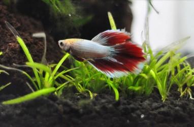Cuan Usaha Budidaya Ikan Cupang di Padang, Penjualan Hingga ke Jepang