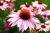 Tanaman Herbal Ini Teruji Klinis Tingkatkan Daya Tahan Tubuh