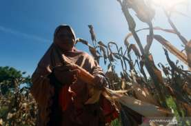 BPTP Gorontalo Sediakan 4 Ton Benih Jagung untuk Petani