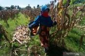 Tingkatkan Produksi, 4 Ton Benih Jagung Berkualitas Dibagikan untuk Petani Gorontalo