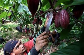 Permintaan Kakao Asal Jatim Tinggi, Pasokan Belum…