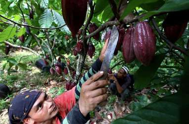 Permintaan Kakao Asal Jatim Tinggi, Pasokan Belum Optimal