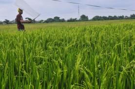 Jadi Penyelamat Ekonomi RI, Ternyata Sektor Pertanian…