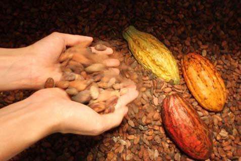 Ilustrasi kakao