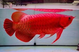 Mengupas Kelebihan Ikan Arwana Dibandingkan Ikan Hias…