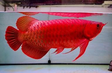 Mengupas Kelebihan Ikan Arwana Dibandingkan Ikan Hias Lainnya