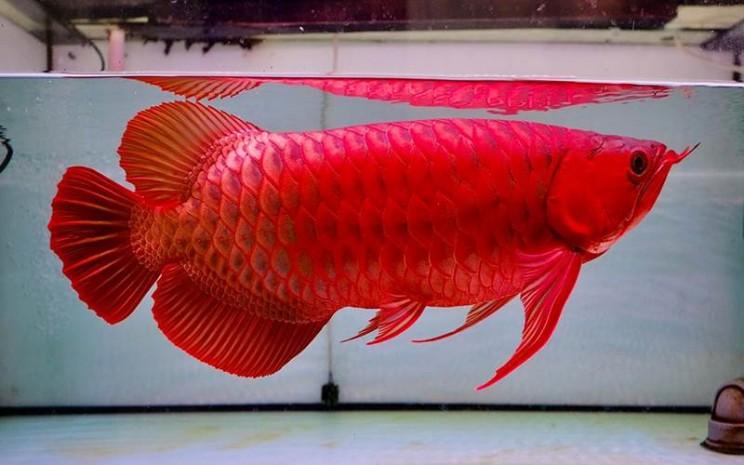 Ilustrasi ikan Arwana
