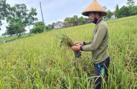 Asuransi Tani di Jateng Bakal Mencakup 20.000 Hektare