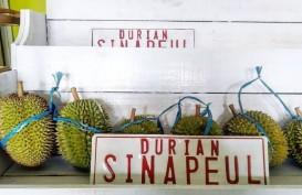 Jelajah Metropolitan Rebana: Pecinta Durian Wajib Nikmati Durian Sinapeul Majalengka
