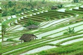 Produktivitas Padi di Bali Tinggi, Tapi Alih Fungsi…