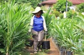 Replanting Tanaman Kelapa Sawit di Sumbar Ditargetkan 8.000 Hektare