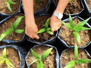 Sumbar Targetkan Peremajaan Kelapa Sawit Seluas 8.000 Hektar Pada 2021