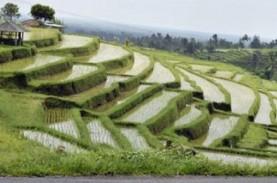 Produksi Beras di Bali Merosot Gara-Gara Penurunan…