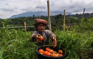 Nilai Tukar Petani Bali Turun, Ini Penyebabnya