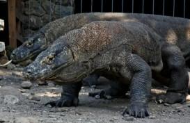 Terkenal di Indonesia, Komodo Mungkin Berasal dari Australia