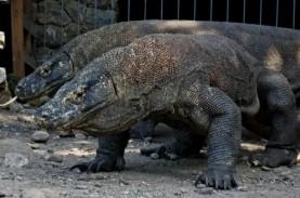 Terkenal di Indonesia, Komodo Mungkin Berasal dari…