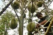 Petani Durian di Subang tak Bisa Panen Raya Akibat Cuaca Ekstrem