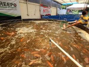 Budi Daya Ikan Dengan Sistem Bioflok Diklaim Mengurangi Kematian Ikan Karena Kualitas Air