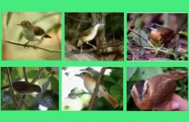172 Tahun Hilang, Burung Pelanduk Kalimantan Kembali Ditemukan