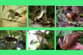 172 Tahun Hilang, Burung Pelanduk Kalimantan Kembali…