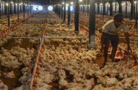 Surplus Produksi Tekan Harga Ayam, Kapasitas Cold Storage Kurang