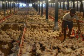 Surplus Produksi Tekan Harga Ayam, Kapasitas Cold…