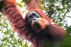 Orangutan dan Bonobo di AS Disuntik Vaksin Covid-19…