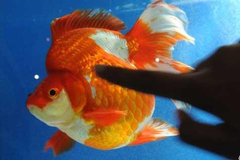 Ikan Hias. Badan Karantina Ikan dan Pengendalian Mutu Produk Kelautan dan Perikanan perlu memastikan jaminan mutu produk ekspor karena hal tersebut penting di pasar dunia.  - Antara