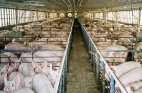 Jaga Ekspor ke Singapura, Peternak Babi di Batam Pacu…