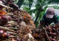 Pekerja memanen kelapa sawit di Desa Rangkasbitung Timur, Lebak, Banten, Selasa (22/9/2020). ANTARA FOTO/Muhammad Bagus Khoirunas