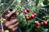 Kopi dan Rempah-rempah Indonesia Akan Diekspor ke Mesir