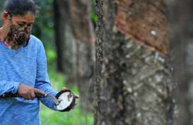 Dihajar La Nina, Produksi dan Ekspor Karet Sumut Tertekan