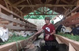 Penggemukan Domba, Bukan Hanya Bisnis untuk Milenial Desa