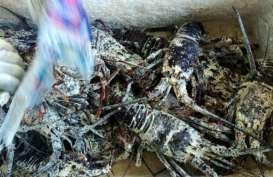 Awal Tahun, Pengiriman Lobster di Sumbar Turun