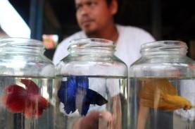 Mendulang Pundi-Pundi Rupiah dari Bisnis Ikan Cupang