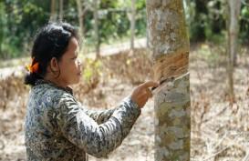 Jelajah Komoditas Sumatra: Petani Karet Semringah Harga Sentuh Rp13.000 Per Kg