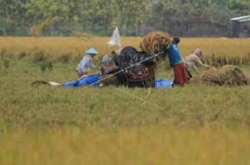 Setahun, Produksi Beras di Cirebon Rata-Rata Surplus…