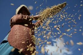 Harga Gabah Petani Terjungkal ke Bawah HPP