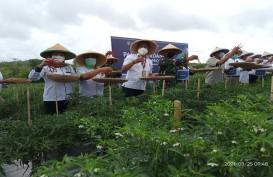 Petani Batam Pacu Produktivitas Cabai Hingga 20 Ton per Hektare
