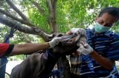 Virus Jembrana Serang Puluhan Sapi di Palembang