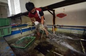 Pengiriman Lobster Hidup asal Sumbar Menurun