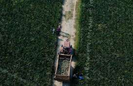 Tingkatkan Ekspor Buah, Pemerintah Lanjutkan Pengembangam Kawasan Hortikultura