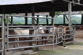 Perusahaan Penggemukan Sapi di Lampung Diminta Tidak…
