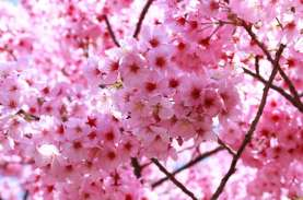 Tahun Ini, Bunga Sakura di Jepang Mekar Lebih Awal,…